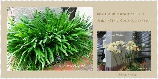 来年の花の準備 リコリス.jpg